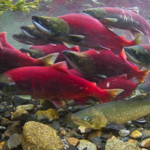 gambar-ikan-salmon